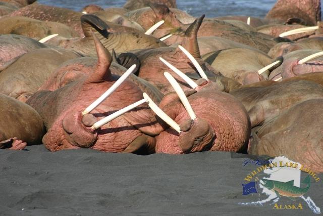 wildlife viewing in Alaska
