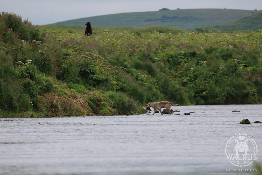 Alaska walrus and wildlife tours