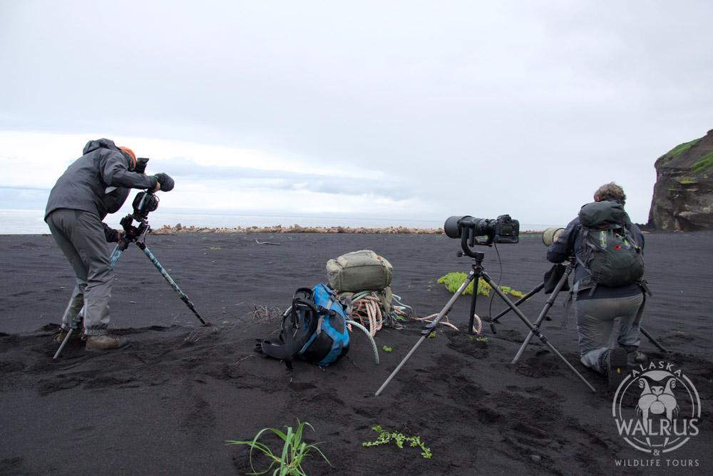 Walrus viewing in alaska